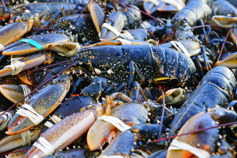 homard vivant par lot Mareyage Hennequin - commerçant des produits de la mer sur la côte atlantique