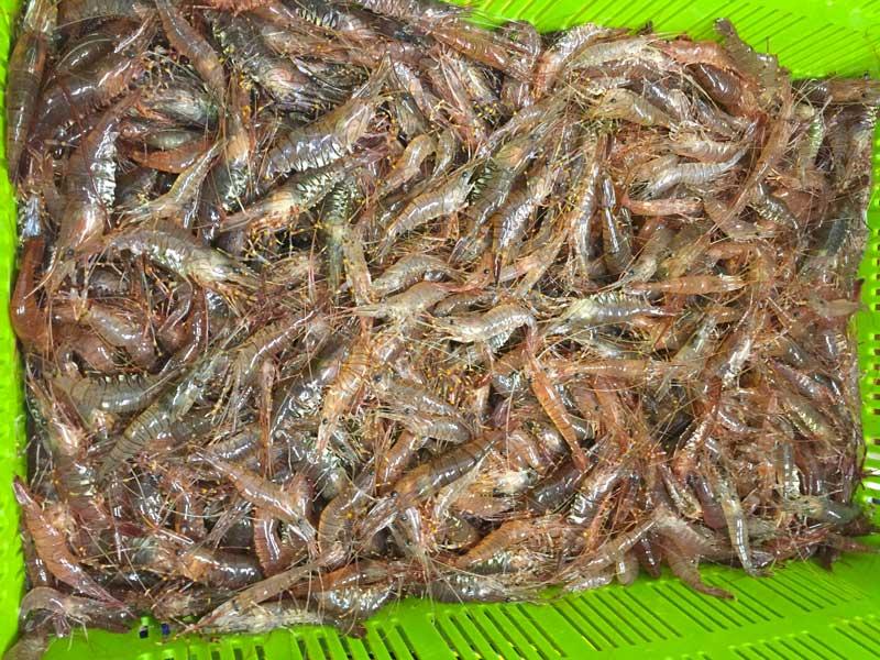 Crevettes Mareyage Hennequin - Les Sables d'Olonne - L'ile d'Yeu, Noirmoutier, Saint Gilles Croix de Vie - produits de la mer sur la côte atlantique